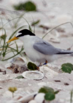 Little Tern (Sterna albifrons) Recovery Plan cover.