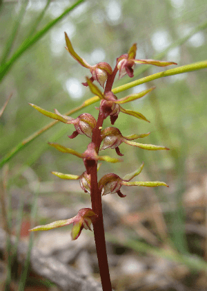 Bauer's Midge orchid (Genoplesium baueri) Photo: Wendy Grimm