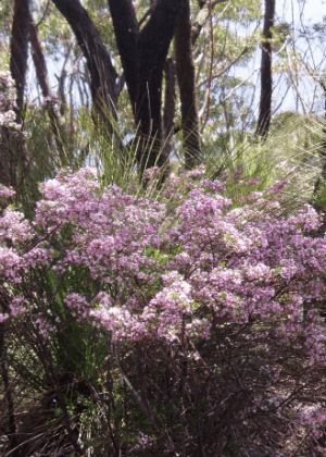 Boronia imlayensis threatened species Photo: L Evans