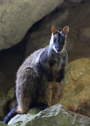 Brush-tailed Rock-wallaby (Petrogale penicillata) Photo: R Nicolai