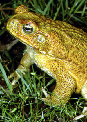 Cane toads (Rhinella marina) are an introduced species and a threat to native plants and animals