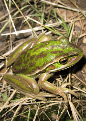 Green and golden bell frog (Litoria aurea) Photo: OEH