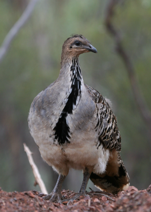 Malleefowl (Leipoa ocellata) Photo: M Irvin