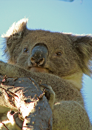 Temporary fencing on Appin Road - Analysis of costs and benefits for koalas
