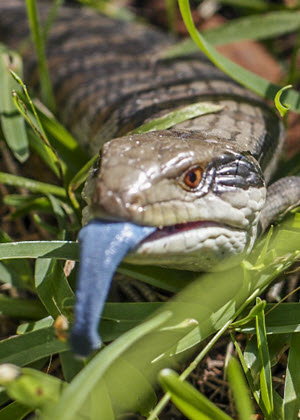 Blue tongued lizard (tiliqua scincoides) on publication cover