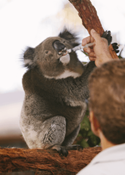 Koala at the Koala Hospital, Port Macquarie