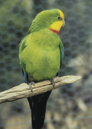 Superb parrot (Polytellis swainsonii).