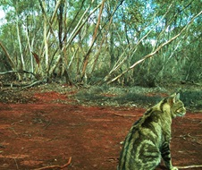 NSW Feral cat project - Feral cat sitting in front of camera trap