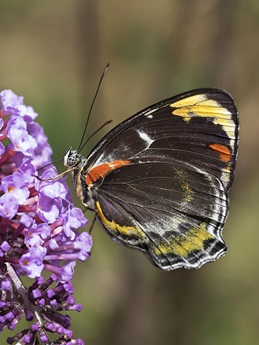 Side profile of a mostly black jezebel butterfly with red, yellow and white markings on the outer wing sitting on a purple flower.
