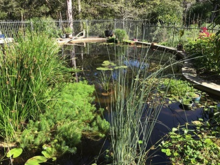 A bean-shaped swimming pool converted into a natural pond with reeds and water plants growing in it and surrounded by a metal fence