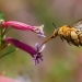 A large yellow and furry native teddy bear bee in midflight flying into pink fluted flowers.