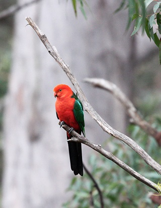 Bright red and green male king parrot sits on tree branch with grey brown tree in the background