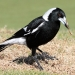 Black and white magpie standing on grass and holds up piece of dried grass root