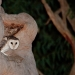 Brown owl with white masked face, chest and legs peers out of Angophora tree hollow