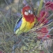 Brightly coloured red yellow and blue rainbow eastern rosella perched on banksia tree