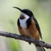 black-headed eastern spinebill with russet underside and white markings sits on branch with green mottled background