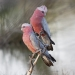 Two pink and grey galahs sitting close together on a twig with blurred background.