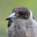 Torso and head shot of grey butcherbird with brown head and eyes, pale chest and long pale beak with dark hook on the end