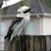 Adult kookaburra with pale belly and brown wings with scant blue spots perched on wooden paing fence, house and palm trunk in background