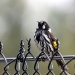 Black and white striated new holland honeyeater sits on wire fence with tail down and a bright yellow marking on its wing