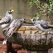 Three noisy miners, one  crouched, looking at each other while perched on the edge of a large round cement  birdbath in garden setting