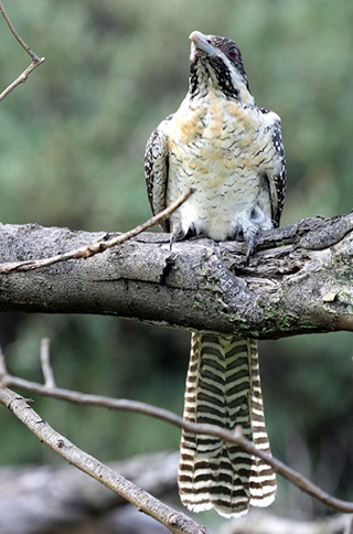 eastern koel with cream underside and long tail with brown bars sits on branch