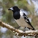 Black-headed pied butcherbird with black wings and white chest and shoulders sits on branch with mottled vegetation in the background