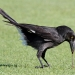 Black pied currawong with white under tail leans over grass and pulls up worm