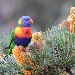 Brightly colouredblue red yellow and green rainbow lorikeet looking at camera perched on banksia tree that has several golden-coloured banksia flowers on it.