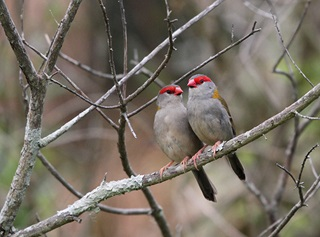 Two red-browed finches perched together on branch