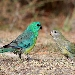 Bright turquoise coloured male red-rumped parrot and soft green coloured female facing each other on  ground with sparse grass cover