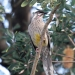 Pale brown and white striated red wattle bird with red eyes, red wattles and yellow underside near its feet sits on banksia