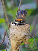 small dark grey bird with rusty brow sitting in a cup-shaped nest in the fork of thin branches