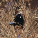 black satin male bowerbird stands in the middle of dried grass bower with blue pegs and blue string