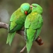 Two bright green scaly-breasted lorikeets with red beaks sitting close together on a thick branch, one is preening the other