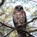 brown owl with chocolate brown and white striated chest sits on tree bracnh with foliage and sky in the background
