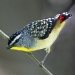 Yellow breasted small pardelote bird with black, grey and white spotted wings with red feathers at their ends and a tiny beak on thin twig