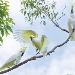 Three cockatoos sit on a branch with the central one with wings spanning out and blue sky with clouds as background