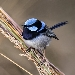 Small fairy wren male with bright blue head and long dark blue tail perched on a clump of green grass stems and dried grass seeds