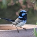 Small fairy wren with bright blue head and brown body with long tail in the air sitting on a terracotta pot with mouth open