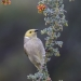 small grey honeyeater with yellowy green head and white nape perched on flowering grevilleas with small red flowers and small grey leaves, blurred dark green background