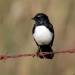 Black willie wagtail with white chest sits on rusty orange barbed wire with mottled background