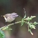 Small thornbill bird with pale grey/brown body and yellow rump perched on weed with flower buds and leaves