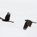 Profile of two black cockatoos in flight, one with wings up, one with wings down with white cloudy background