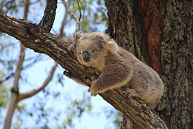 Sleepy koala (Phascolarctos cinereus) lying on a branch in a tree in Western Sydney.