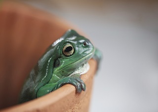 Head shot of a green tree frog, Litoria caerulea, hanging onto the edge of an empty terracotta pot.