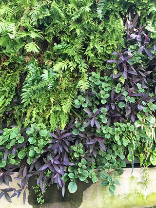 The bottom of a sandstone wall is visible at the bottom of expanse of green and purple plants growing vertically on a wall.