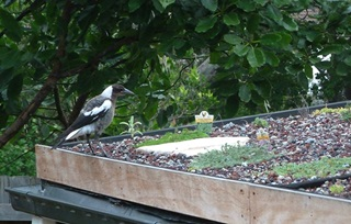 A young magpie perched on the edge of newly created roof garden with small green plants, stepping stone and growing medium on the roof and trees in the background