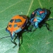 A bright orange bug with peacock blue marks or spots and a peacock blue bug with orange marks or spots, Cotton harlequin bugs, on green leaf.