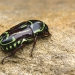 brown beetle with lime green markings on sandstone